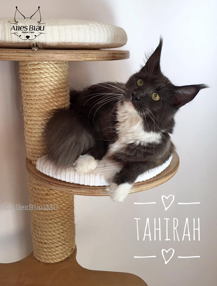 NL*Timaracoon's Tahirah