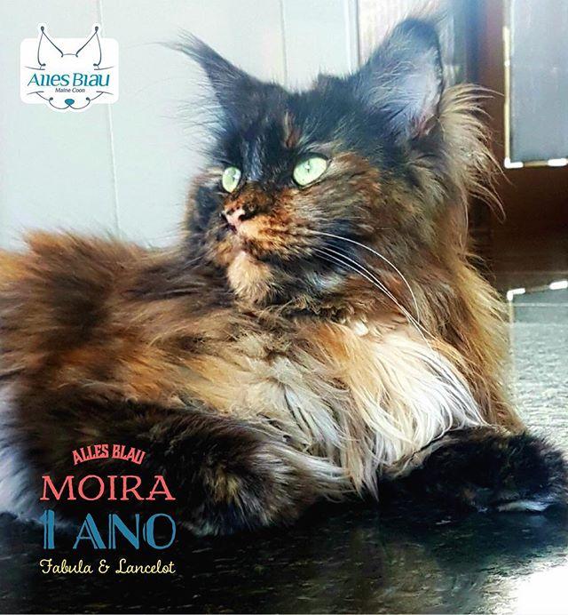 Moira, linda demais essa menina 💚💚💚 #allesblaumc #gatilallesblau #mainecoon #tortiecats #tortiema