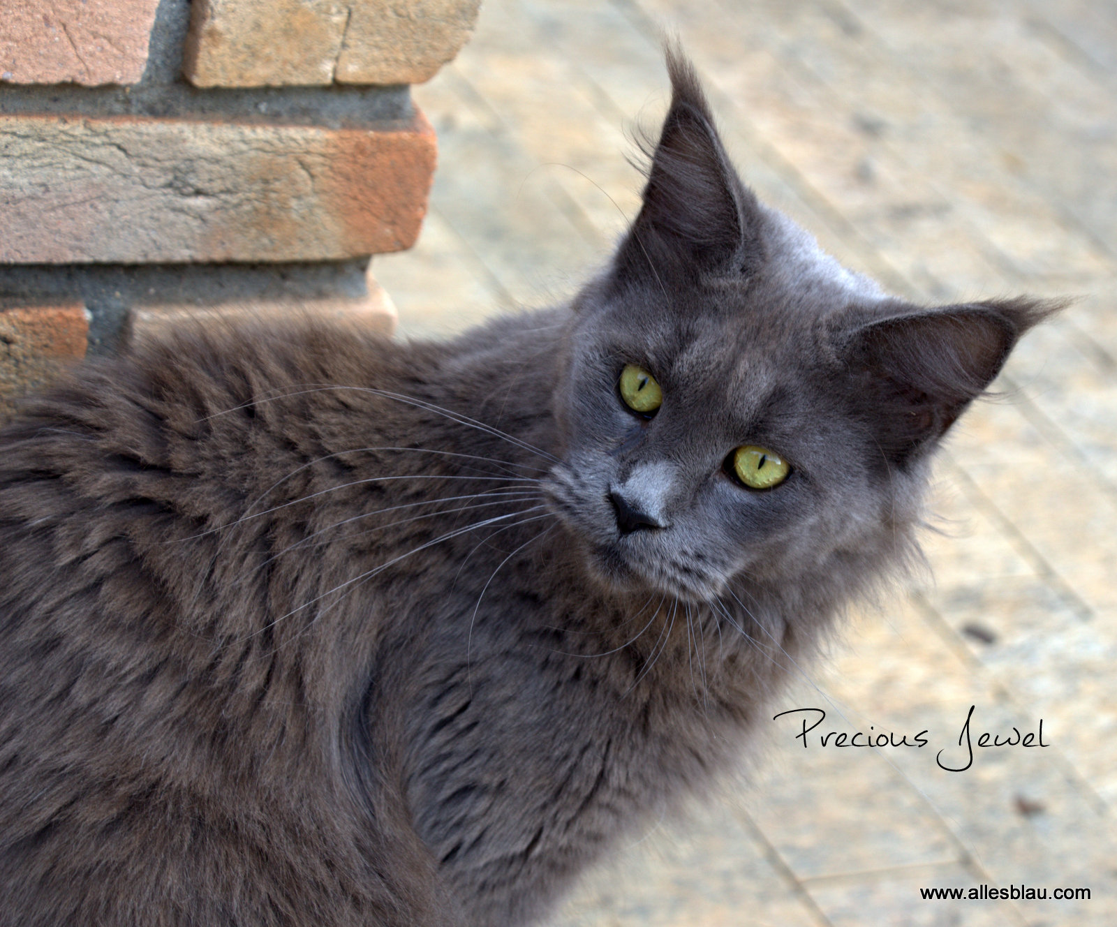 NL*Timaracoon's Precious Jewel
