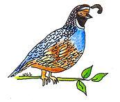 northern california quail.jpeg