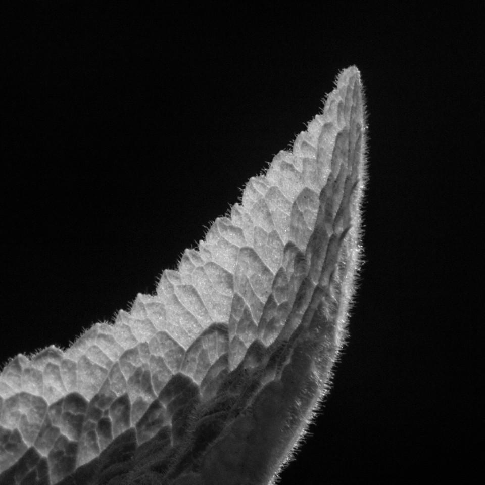 Foxglove Leaf