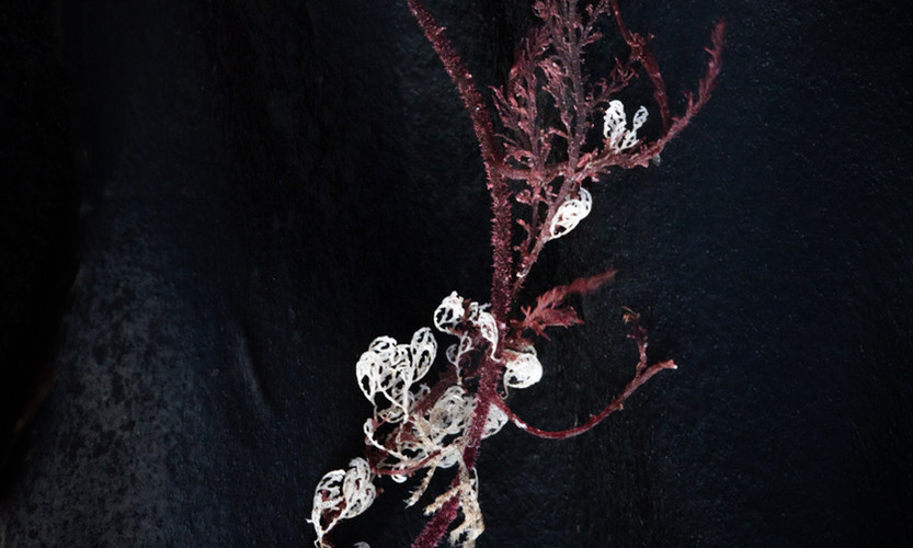 Kelp: embroidery