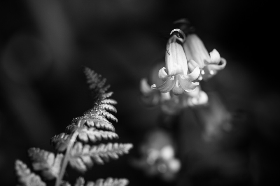 Fern and Bluebell