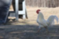 Trueworthy Treasure the Rooster
