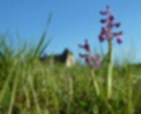 Orchids, orchidées