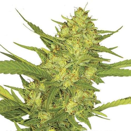 Sour Diesel Feminized Seeds