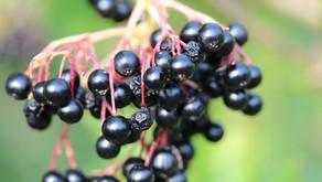 Elderberry, Echinacea, and Forsythia