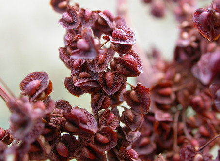 Rumex crispus - Yellow Dock: Research Review