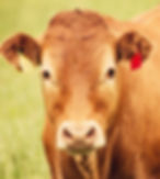 limousin-cattle-1-cropped.jpg