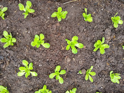 lettuce_transplant