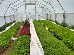 greenhouse_greens