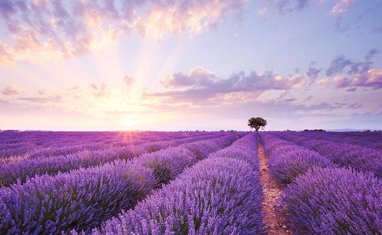 sun setting or rising over a lavendar fi