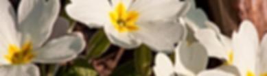 primula bianca.png