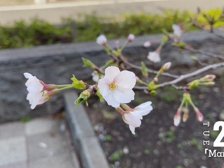 桜を見に行ってきました