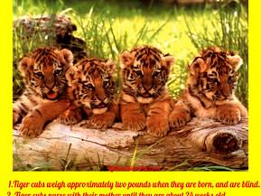 Tiger Cubs Fun Facts!