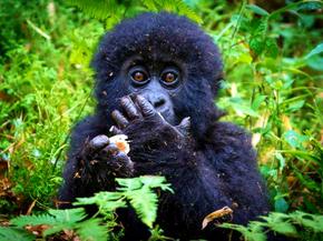 Happy World Gorilla Day!