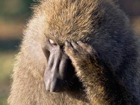 Baboon Conflict in Kenya
