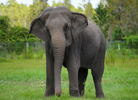30 Retired Circus Elephants To Be Released Into White Oak 2,500-Acre Habitat