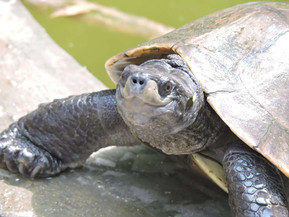 Rare Turtles Known For Their Permanent Smiles Saved From Extinction in Myanmar