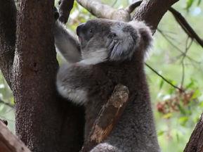 Koala Fun Facts!