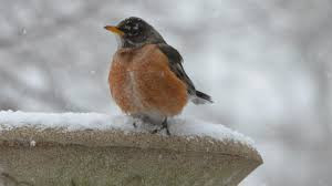 The Fat Robin