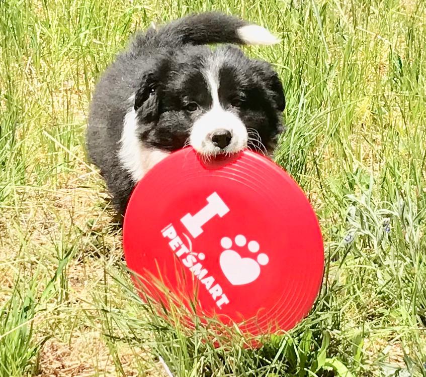 frisbee dog in training