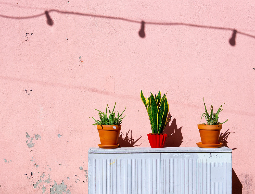 snake plant and two aloe vera plants against pink wall