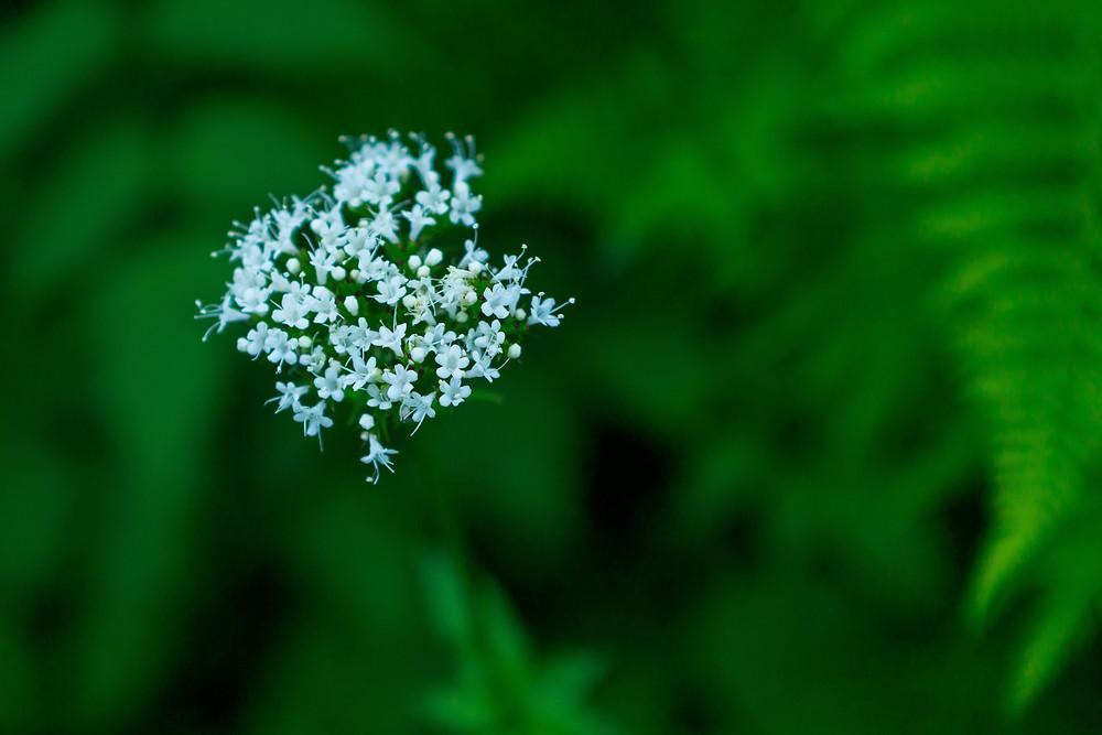 white valerian flower with soft focus leaves