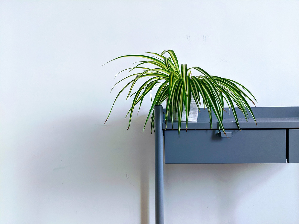 Spider Plant on blue console table