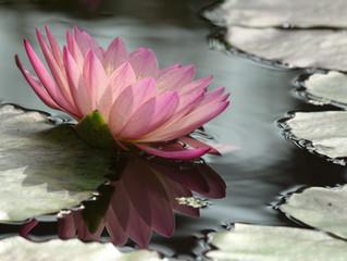 เรียนรู้ถึงพลังดอกบัว ที่จะช่วยในการสร้างเสริมสมาธิ