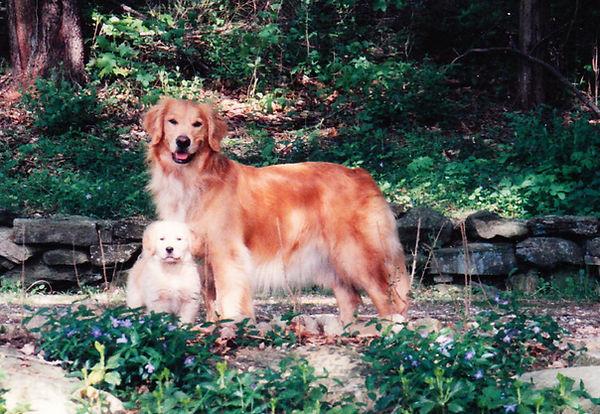 A Golden Retriever and a puppy.