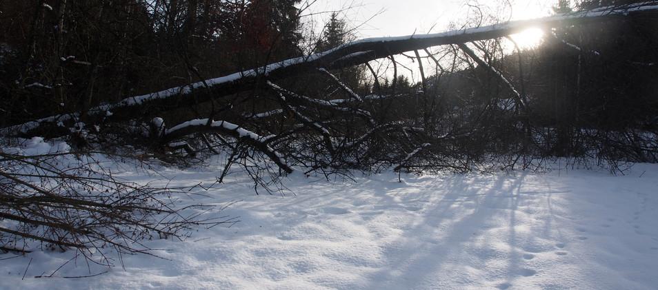 gefällte Bäume im Januar 21