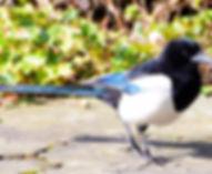 bird-pica-pica-corvidae-birds.jpg