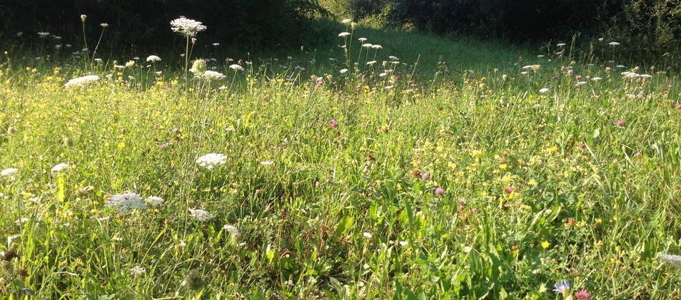 artenreiche Wiese im Sommer 20