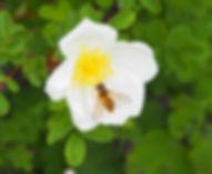Schwebefliege an Wildrose (JZ).JPG