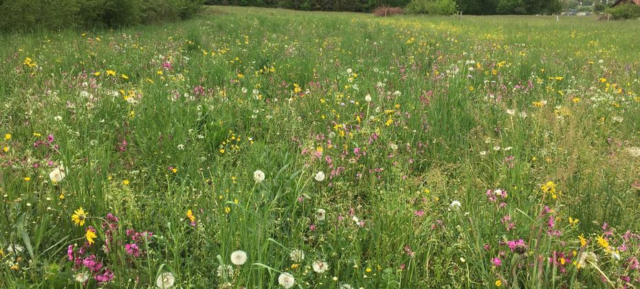 Blumenwiese im 2. Sommer