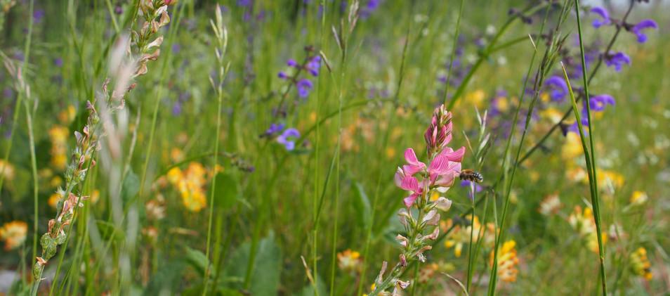 Blumenwiese im Schutzgebiet