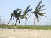 damaged coconut trees.png