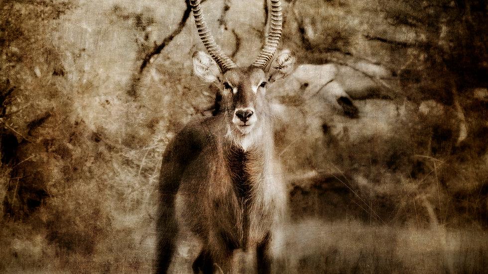 """Antelope"" 12"" x 12"", signed print on art paper"