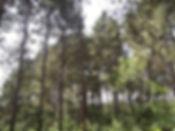 Pine PL 2.jpg