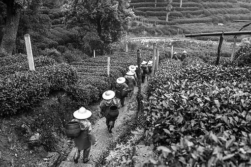 Tea%20Pickers_edited.jpg