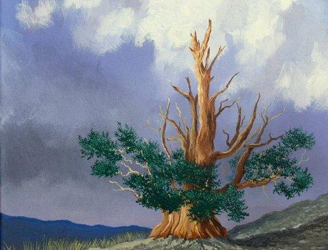 Bristle Cone Pine, 4000 yrs old
