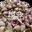 Thumbnail: French Rose (37.5G / PKT)