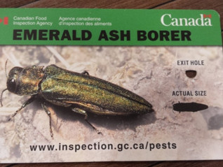 FREDERICTON WORKING TO AVOID INVASION OF ASH TREE PEST