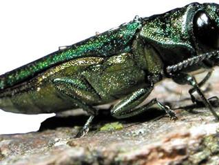 Emerald ash borer confirmed in New Brunswick