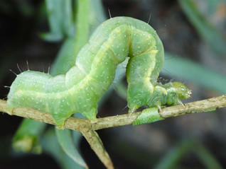Introducing LOOPEX FC,  a biological for controlling cabbage looper in field vegetable crops