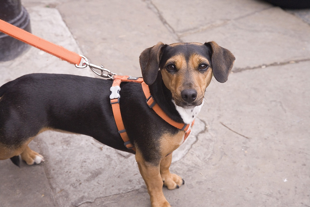 Dog on a harness.