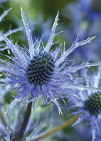 Bloemenkaartjes-Blanco-paars-met-stekels