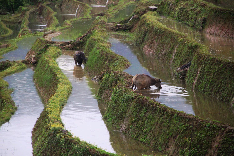 טאו מים בטרסות האורז של יואן-יאנג
