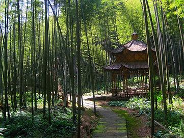 """(יער הבמבוקים, מחוז סצ'ואן (צולם ע""""י גילי שיינר"""